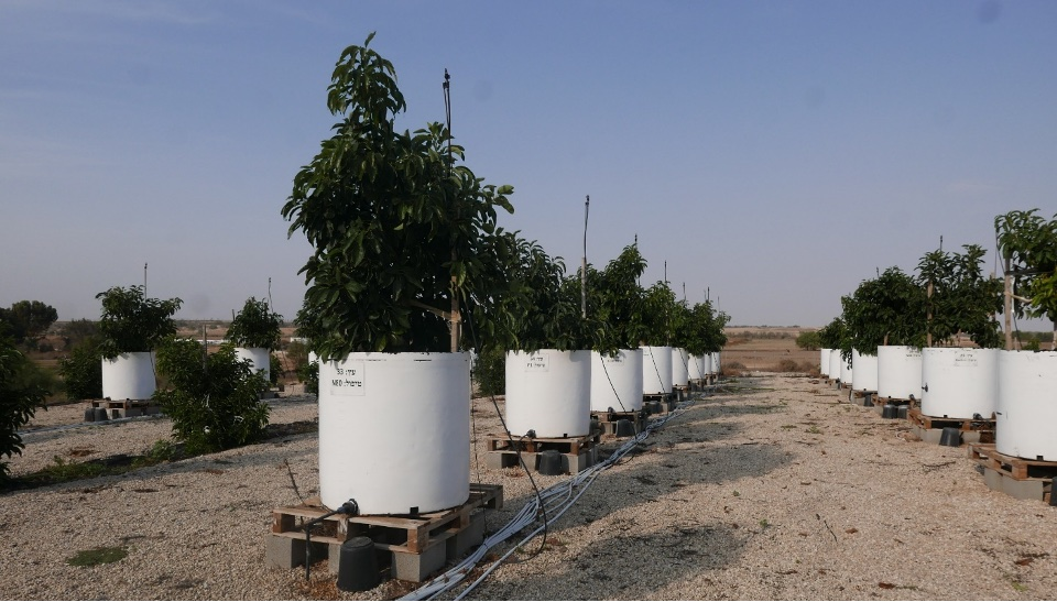 The avocado experimental site at the Gilat research center
