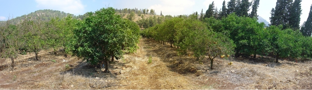 Trees irrigated with fresh water (FW) or treated waste water (TWW).