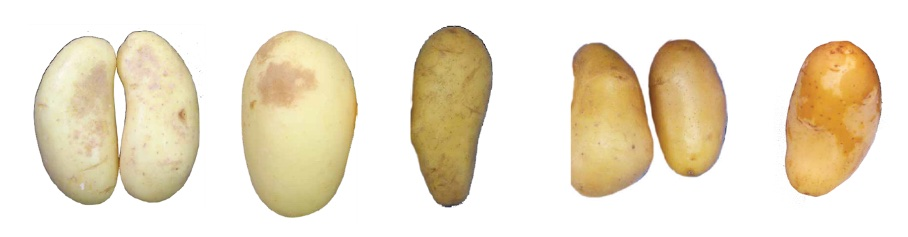 Fig. 1: several example of potato's peel disorder
